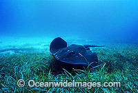 Smooth Stingray Dasyatis brevicaudata Photo - Gary Bell