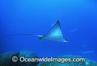 White-spotted Eagle Ray