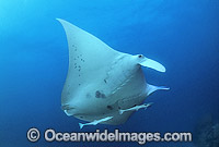 Giant Oceanic Manta Ray Photo - Gary Bell