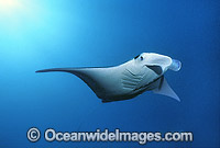 Manta Ray Manta birostris photo