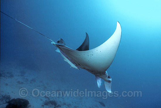 Giant Oceanic Manta Ray (Manta birostris). Found throughout the world in tropical and subtropical waters, but also can be found in temperate waters. Largest type of ray in the world, recorded at over 7.6 metres (26ft) across. Great Barrier Reef, Australia