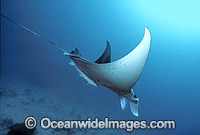 Manta Ray Manta birostris Photo - Gary Bell