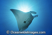 Giant Oceanic Manta Ray photo
