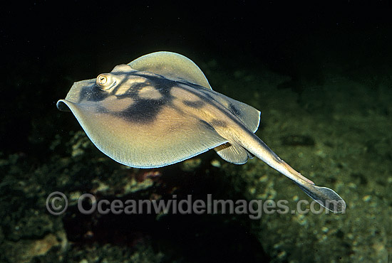 Banded Stingaree (Urolophus cruciatus). Also known as Cross-back Stingaree. Victoria, Australia Photo - Rudie Kuiter