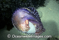 Paper Nautilus mantle covering egg chamber Photo - Rudie Kuiter