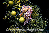 Short-head Seahorse on sea algae