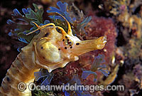 Big-belly Seahorse Hippocampus abdominalis