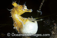 Short-head Seahorse Babies emerging Photo - Rudie Kuiter