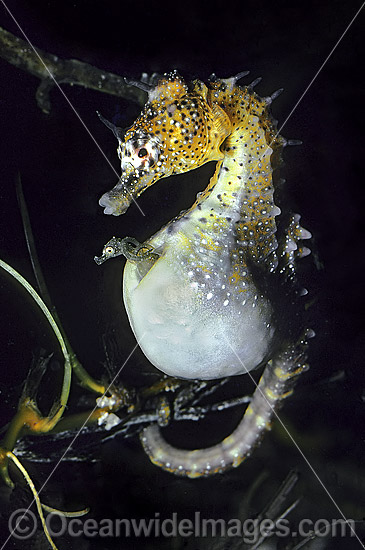Short-head Seahorse (Hippocampus breviceps) - male giving birth. Babies emerging from males brood pouch. Port Phillip Bay, Victoria, Australia. Sequence - A5.