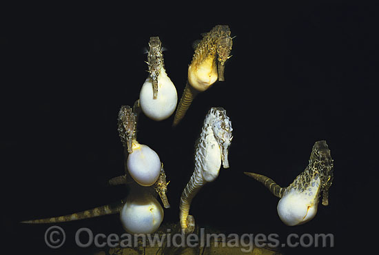 Pot-belly Seahorse males chasing female photo