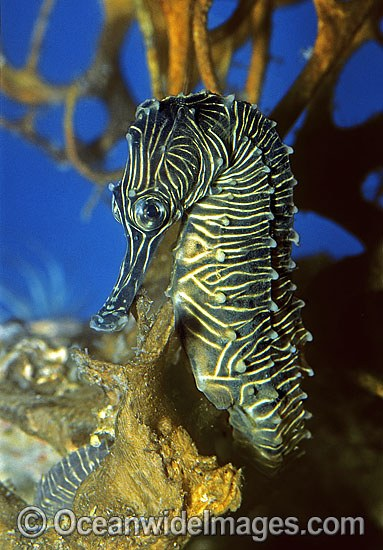 Low-crown Seahorse (Hippocampus dahli). Coastal Queensland, Australia