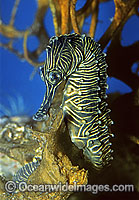 Low-crown Seahorse Hippocampus dahli photo