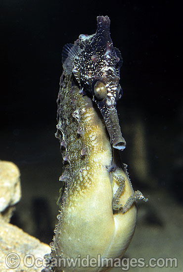 White's Seahorse (Hippocampus whitei) - male giving birth. Babies emerging from males brood pouch. Central New South Wales, Australia. Sequence - C10. Photo - Rudie Kuiter