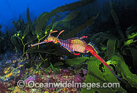 Weedy Seadragon in kelp Photo - Gary Bell