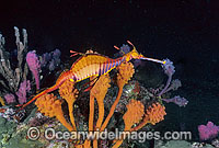 Weedy Seadragon in Sponge Garden Photo - Gary Bell
