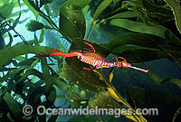 Weedy Seadragon in Giant Kelp forest Photo - Gary Bell