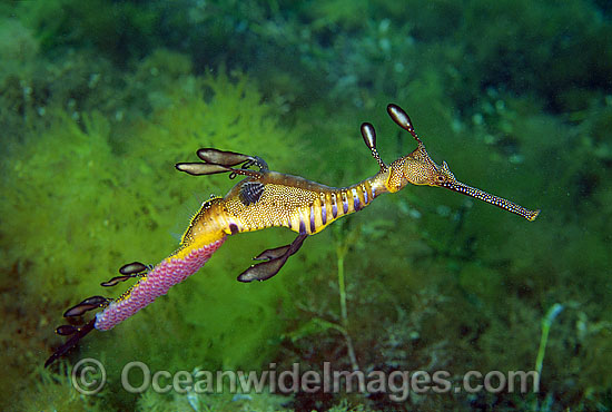 Weedy Seadragon (Phyllopteryx taeniolatus) - male with eggs attached to underside of tail. Western Port Bay, Victoria, Australia