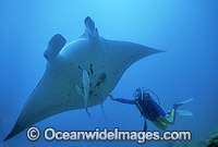 Giant Oceanic Manta Ray Heron Island Photo - Gary Bell