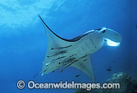 Manta Ray with Remora Suckerfish Photo - Gary Bell