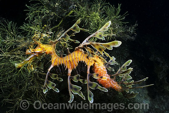 Leafy Seadragon (Phycodurus eques) - male with eggs attached to underside of tail. Fleurieu Peninsula, South Australia. Endemic to Australia.