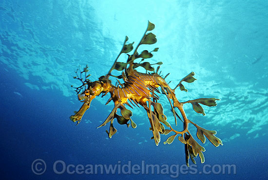 Leafy Seadragon (Phycodurus eques). Fleurieu Peninsula, South Australia. Endemic to Australia. Classified as Near Threatened on the IUCN Red List.