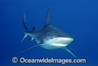 Galapagos Shark photo