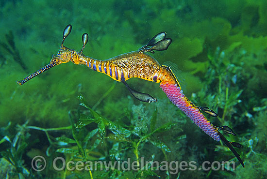 Weedy Seadragon (Phyllopteryx taeniolatus) - male with eggs attached to underside of tail. Western Port Bay, Victoria, Australia Photo - Gary Bell