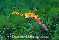 Weedy Seadragon with eggs attached Photo - Gary Bell