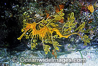 Leafy Seadragon Photo - Rudie Kuiter