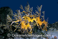 Leafy Seadragon trio Photo - Rudie Kuiter