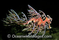 Leafy Seadragon Deep water variety Photo - Rudie Kuiter