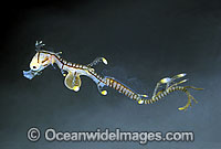 Leafy Seadragon newborn with egg yolk still attached Photo - Rudie Kuiter