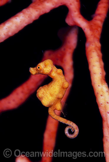 Pygmy Seahorse (Hippocampus denise) on Gorgonian Fan Coral. Bali, Indonesia Photo - Gary Bell