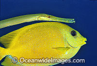 Yellow Trumpetfish and Coral Rabbitfish Photo - Gary Bell