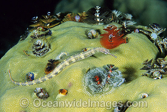 Yellow-spotted Pipefish (Corythoichthys polynotatus) amongst feeding Christmas Tree Worms. Kimbe Bay, Papua New Guinea