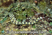 Tropical Pipefish Corythoichthys sp. photo