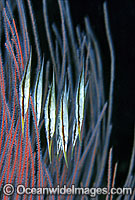 Rigid Shrimpfish in whip coral photo