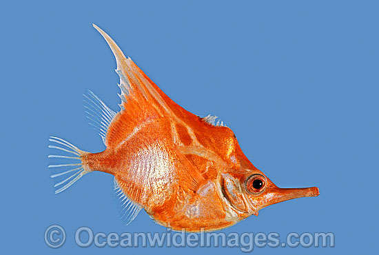 Orange Bellowsfish (Notopogon xenosoma). Deep sea fish found off Southern Australia