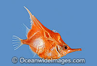 Orange Bellowsfish Notopogon xenosoma photo
