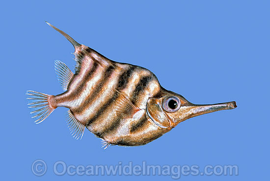 Banded Bellowsfish (Centriscops humerosus). Deep sea fish found off South Eastern Australia