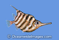 Banded Bellowsfish Centriscops humerosus Photo - Rudie Kuiter