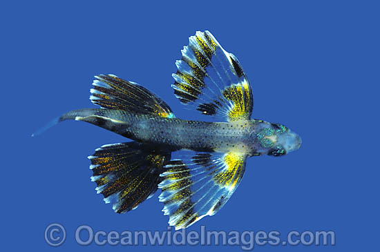 Flying Fish (Cypselurus sp.) - juvenile. Indo-Pacific Photo - Rudie Kuiter