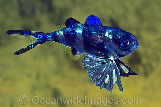 Man-of-war Fish (Nomeus gronovii). Also known as Bluebottle Fish, Shephard Fish and Drift Fish. Widespread Tropical and Temperate seas.