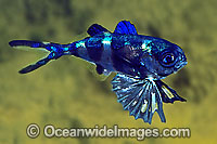 Man-of-war Fish Nomeus gronovii Photo - Rudie Kuiter