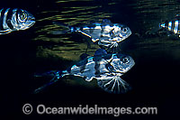 Man-of-war Fish Nomeus gronovii Bluebottle Fish photo