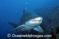 Grey Nurse Shark Carcharias taurus Photo - Gary Bell