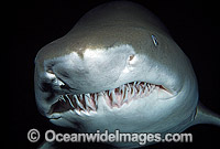 Spotted Ragged-tooth Shark Carcharias taurus Photo - Gary Bell