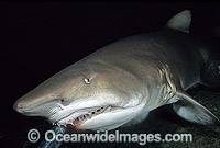 Grey Nurse Shark Photo - Gary Bell