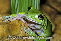 Green Tree Frog Litoria caerulea image