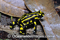 Corroboree Frog Pseudophryne corroboree photo